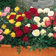 rosa pianta