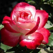 Rosa  floriunda