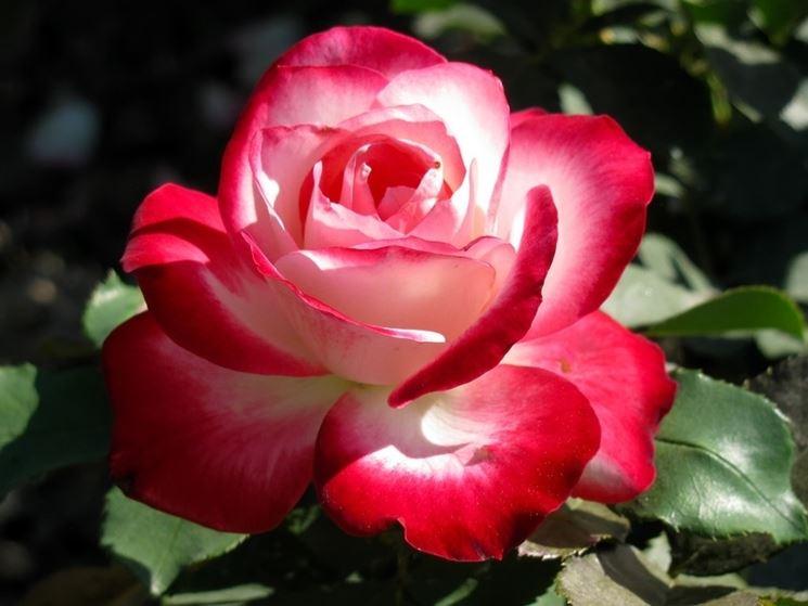 Coltivare la rosa rosa rosa piante da giardino for Rose da giardino