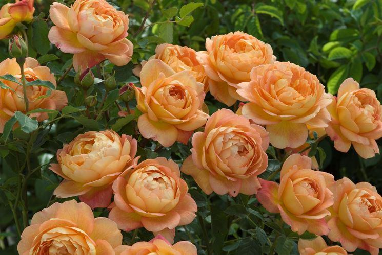 rosa ibridi di tea