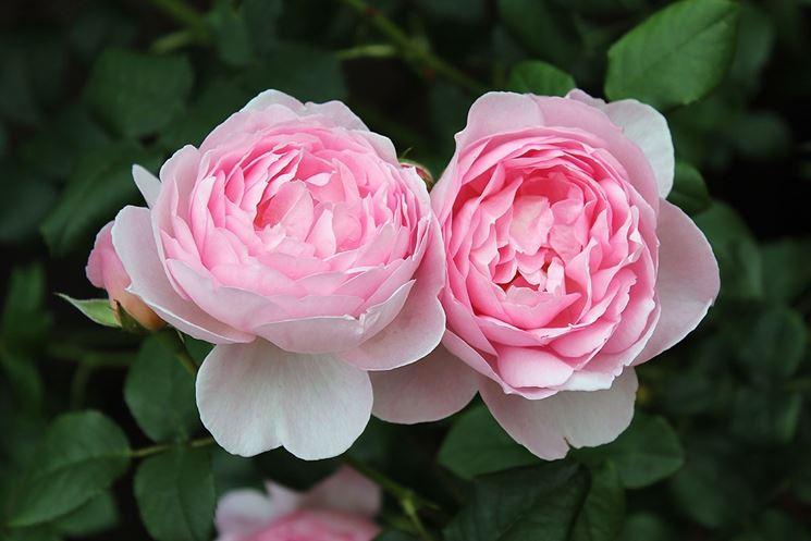 Coltivare la rosa rosa rosa piante da giardino for Rose piante
