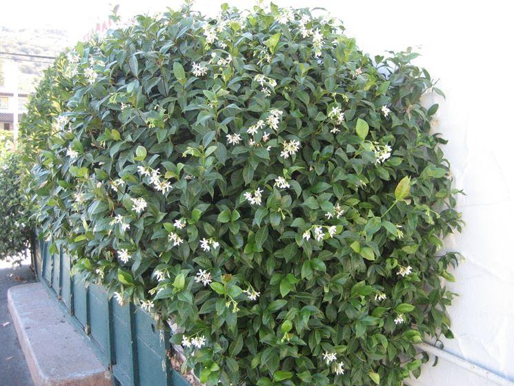 Falso Gelsomino Trachelospermum Jasminoides Somanum