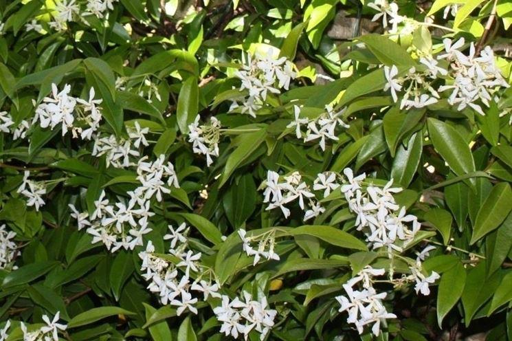 fiori falso gelsomino