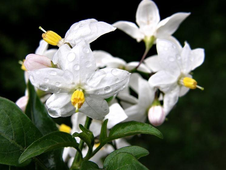 fiore solanum jasminoides
