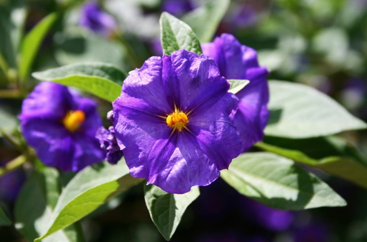 Solanum rantonnettii