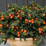 pianta con palline arancioni