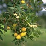 sorbo frutto