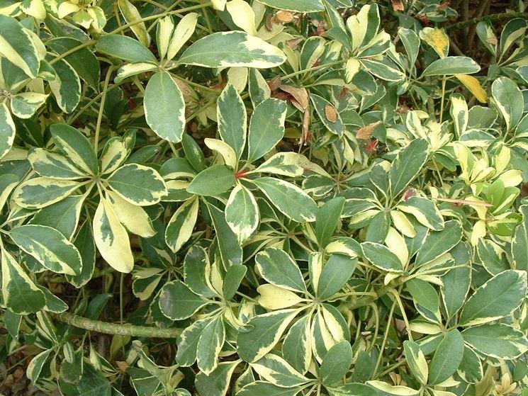 Foglie variegate