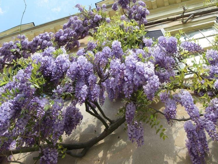 Glicine wisteria sinensis wisteria sinensis piante for Glicine bonsai prezzo