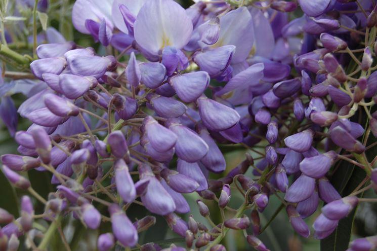 10 semi wisteria sinensis piabta del glicine fiore lill for Tende lilla glicine