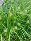 """Carex elata"""""""