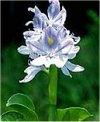 """Eichhornia crassipes"""""""