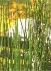 """Equisetum hyemale"""""""