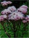 """Eupatorium cannabinum"""""""