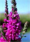 """Lythrum salicaria"""""""