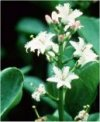 Menyanthes trifoliata""