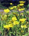"""Ranunculus lingua"""""""