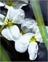 """Sagittaria latifolia"""""""