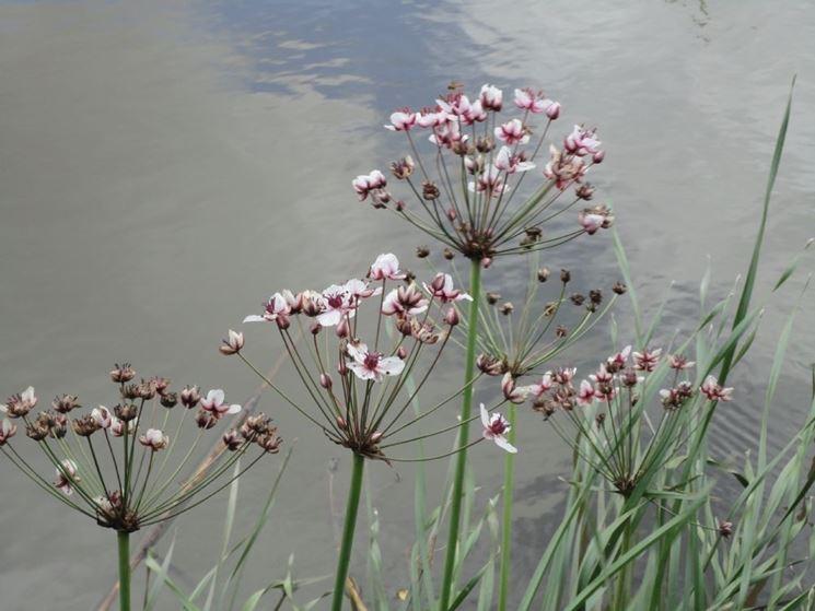 giunco fiorito