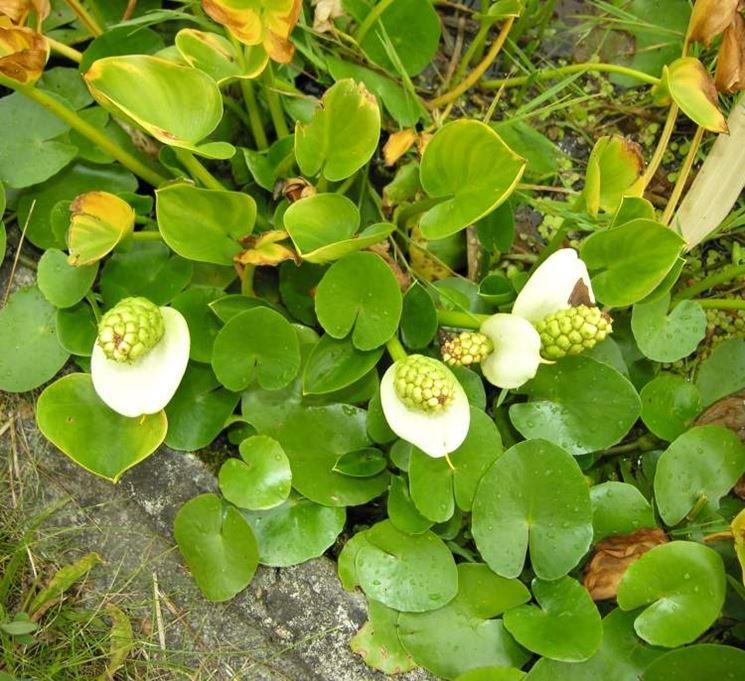 Fiori calla palustris