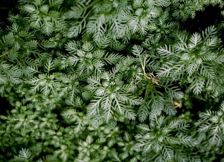 foglie ottonia