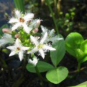fiori di Trifoglio fibrino