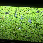 Salvia acquatica