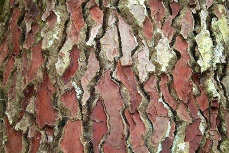 Parassiti e malattie pino