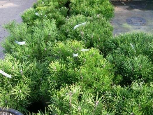 Pino mugo domande e risposte giardino pino mugo l for Abete da giardino