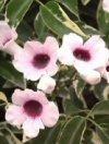 """Pandorea jasminoides"""""""
