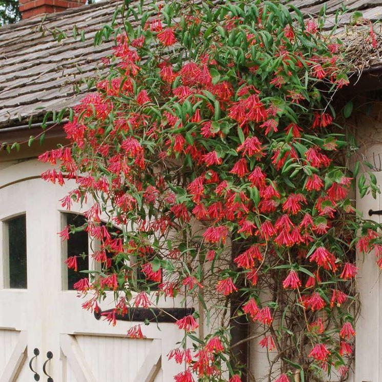 Caprifoglio rampicante rampicanti coltivare il caprifoglio for Fiori rampicanti da giardino