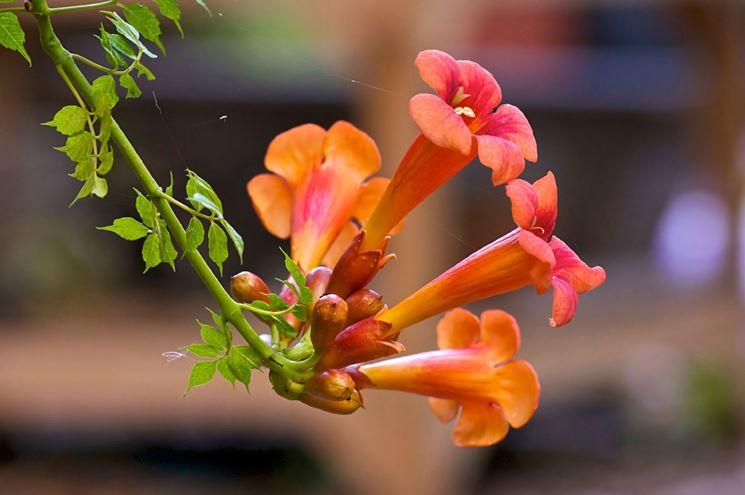 Fiore di caprifoglio