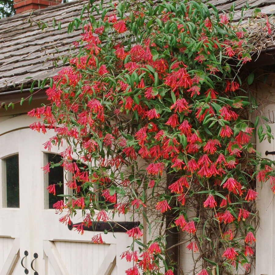 Caprifoglio del giappone lonicera japonica lonicera for Pianta rampicante sempreverde