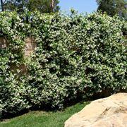 Caprifoglio rampicante rampicanti coltivare il caprifoglio for Siepi perenni fiorite