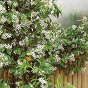 Caprifoglio rampicante rampicanti coltivare il caprifoglio for Piante fiorite perenni da esterno