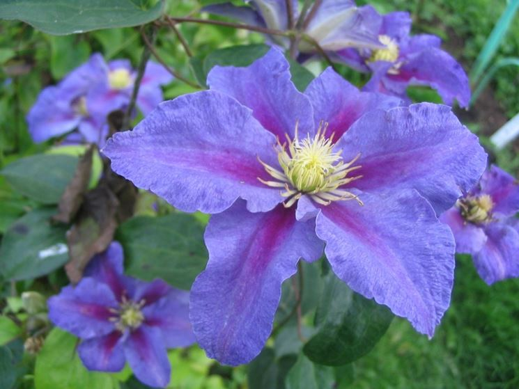 CLEMATIS NELLY MOSER-Pianta in vaso 9cm