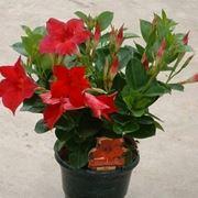 piante rampicanti con fiori