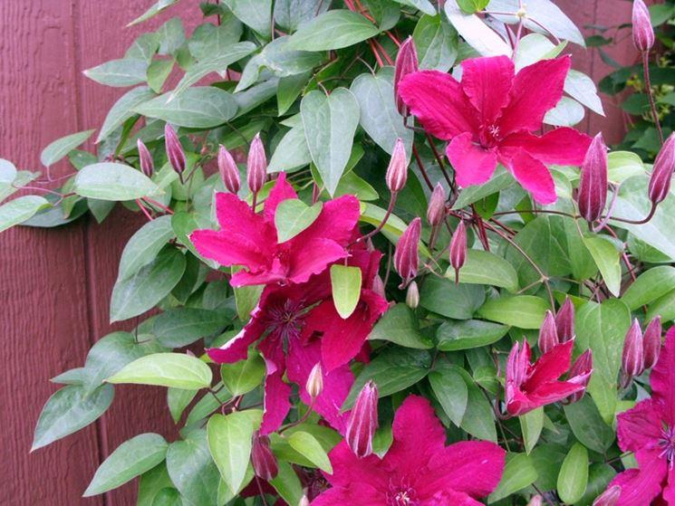 Clematide pianta