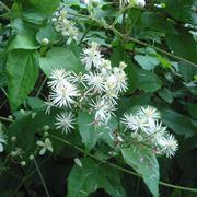 I fiori della Clematis Vitalba