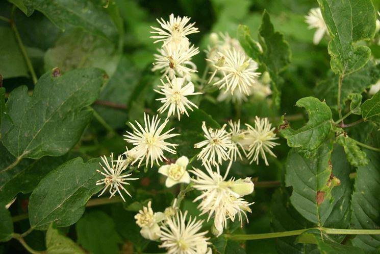 Il fiore della Clematis Vitalba