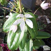 Particolare fiore clematis