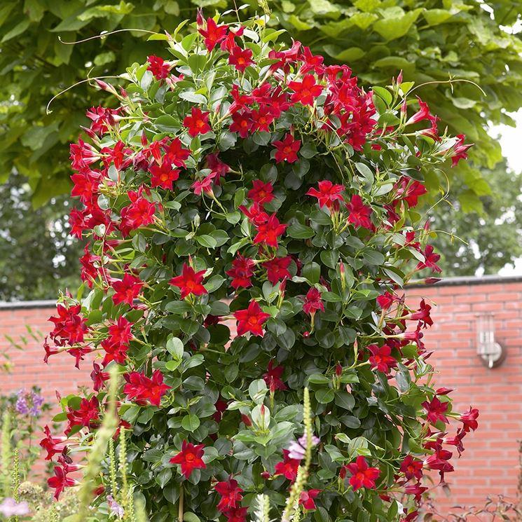 Dipladenia sundaville dai fiori rossi
