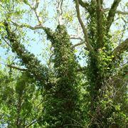 piante rampicanti sempreverdi crescita veloce