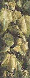 """Hedera algeriensis"""""""