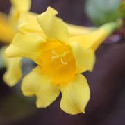 Fiori di gelsomino giallo
