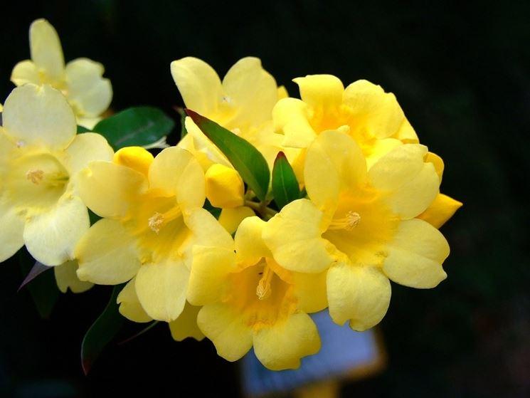 Piantine di gelsomino giallo