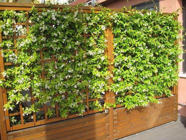 Terrazzi con gelsomino: cerchi piante rampicanti per il terrazzo