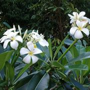 pianta gelsomino