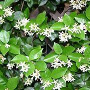Gelsomino rampicanti coltivare gelsomino for Piante classificazioni inferiori successive