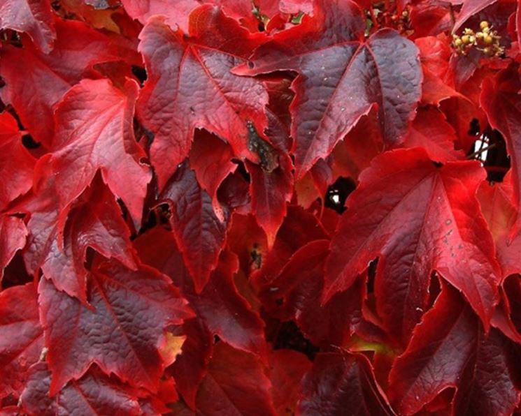 foglie vite americana